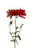 Röd chrysanthemum royaltyfria foton
