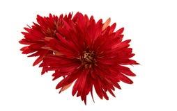 Röd chrysanthemum arkivbilder