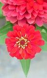 Röd Chrysanthemumblomma Royaltyfria Bilder