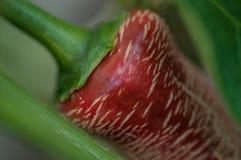 Röd closeup för elefantchilipeppar arkivfoto