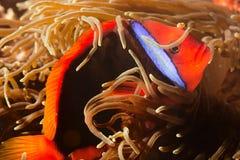 Röd clownfisk Royaltyfri Foto