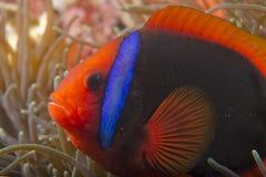 Röd clownfisk Arkivfoton
