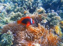 Röd clownfisk i actiniacloseupfoto Clownfish i korallrev fotografering för bildbyråer