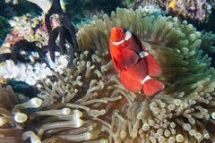 Röd clownfisk i anemonen Raja Ampat Papua Royaltyfri Fotografi