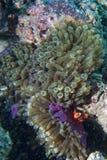 Röd clownfisk i anemonen Raja Ampat Papua Arkivfoto