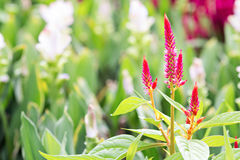 Röd Cockscomb blomma Arkivfoto