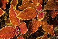 Röd coleusväxt Fotografering för Bildbyråer