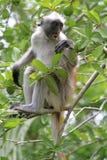 Röd colobus - endemisk av Zanzibar Royaltyfri Bild