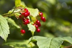 Röd cranberry Arkivfoto