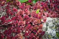 Röd Crassula Royaltyfria Foton