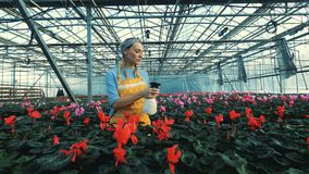 Röd cyklamen för blomsterhandlarevatten som växer i krukor i ett växthus stock video