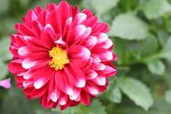 Röd dahlia Royaltyfri Bild