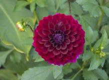 Röd dahlia i blom i en trädgård Royaltyfria Foton