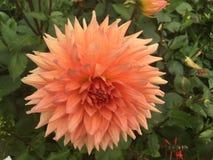 Röd dahlia i trädgården Royaltyfri Bild