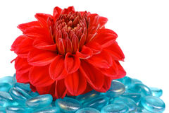 Röd dahlia med blåa exponeringsglasstenar på vit bakgrund Arkivfoton