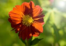 Röd dahlia på grön bakgrund Dahlia i trädgården, selektiv fokus royaltyfri bild