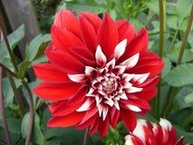 Röd dahliablom för blommor Fotografering för Bildbyråer