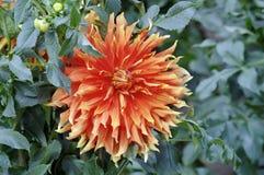 Röd dahliablomma i trädgård royaltyfria foton