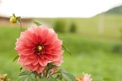 Röd dahliablomma i trädgården Arkivfoton