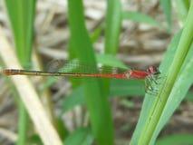 Röd damselfly Arkivbild