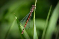 Röd damselfly - Zygoptera - på en filial fotografering för bildbyråer