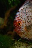Röd diskusfisk i naturlig miljö Royaltyfri Foto