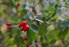 Röd dogrose i trädgård Royaltyfri Fotografi