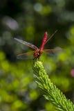 Röd drake Fotografering för Bildbyråer