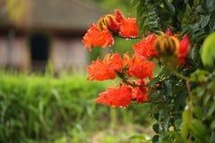 Röd dropical blomma i en buske efter regn fotografering för bildbyråer