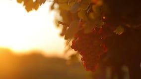 Röd druva på solnedgången arkivfilmer