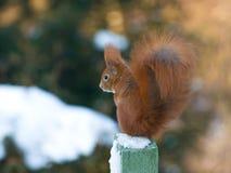 röd ekorre Royaltyfri Foto