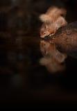 röd ekorre fotografering för bildbyråer