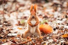 röd ekorre Royaltyfri Fotografi