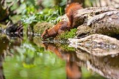 Röd ekorre, eekhoorn Royaltyfria Bilder