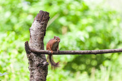 Röd ekorre, eekhoorn Royaltyfri Foto