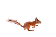 Röd ekorre för Eurasian, Sciurus som är vulgaris på vit Arkivbild