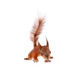 Röd ekorre för Eurasian, Sciurus som är vulgaris på vit Royaltyfria Bilder