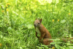 Röd ekorre i det tjocka gröna gräset Natur Arkivbild