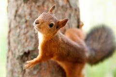 Röd ekorre i natur Royaltyfria Bilder