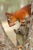 Röd ekorre i natur Fotografering för Bildbyråer