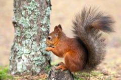 Röd ekorre i natur Royaltyfri Foto