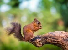 Röd ekorre i skogsmark Arkivfoton