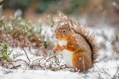 Röd ekorre i snöfall Royaltyfri Fotografi