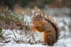 Röd ekorre i snönedgång Arkivfoton