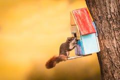Röd ekorre i Thailand som omkring spelar och söker efter på mat Arkivfoto