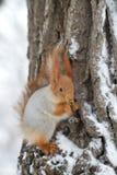 Röd ekorre i vinter Fotografering för Bildbyråer