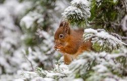 Röd ekorre i vintersnö Arkivbilder
