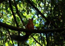 Röd ekorre med ett stort svanssammanträde på en trädfilial i sommar royaltyfria foton