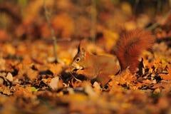 Röd ekorre med jordnöten på de orange bladen Royaltyfri Foto