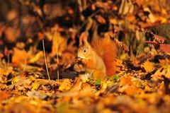 Röd ekorre med jordnöten på de orange bladen Fotografering för Bildbyråer
